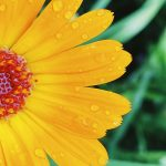 yellow flower with water droplets
